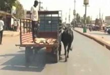 Cow Follows Lorry For Her Injured Calf