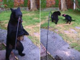 fearless dog chases away bear video