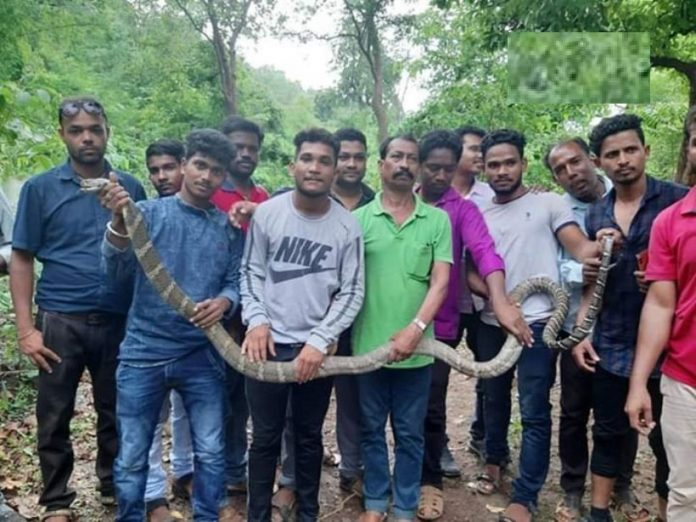 11 feet long snake in odisha