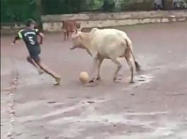 the cow that played football