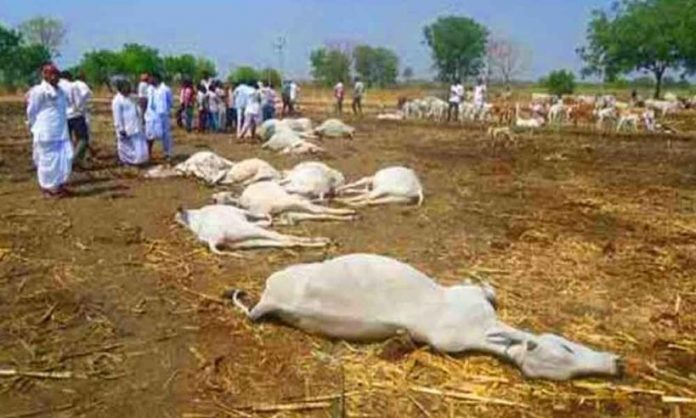 death-of-100-cows-at-the-same-time-in-vijayawada